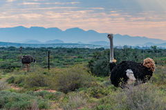 Ostrich. A male and female Ostrich in a field in oudtshoorn south africa. with the swartburg mountains in the background Stock Photo