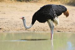 Ostrich male - Fine Feather Fluff Stock Images