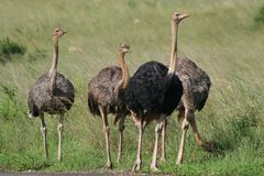 Ostrich male with harem Stock Images