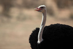 Ostrich male, Kalahari desert Royalty Free Stock Images