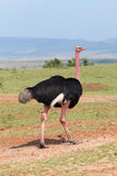 Ostrich Male - Safari Kenya. A great male oh ostrich, with a black plumage, in Kenya Royalty Free Stock Photography