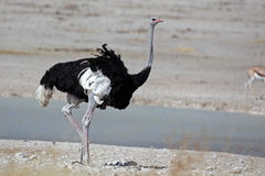 Ostrich male showing white in wings Stock Images