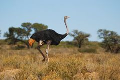 Ostrich male (Struthio camelus) royalty free stock photos