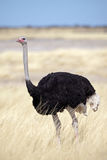 Ostrich male in yellow grasslands. Ostrich, Etosha National Park, Namibia, SW Africa Royalty Free Stock Photography