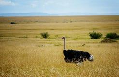 Ostrich in Masai Mara Game resort, Kenya Stock Photography