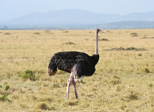 Ostrich, Masai Mara, KENYA Royalty Free Stock Photography