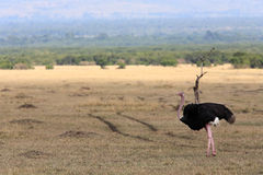 Ostrich Masai Mara Reserve Kenya Africa Royalty Free Stock Images