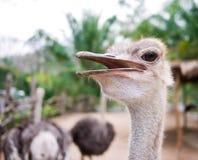 Ostrich med hans öppna mun Royaltyfri Foto