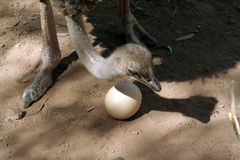 Ostrich Mom. A mother ostrich and her egg Stock Photo