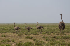 An ostrich mother and its childen walking Royalty Free Stock Photos