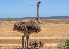Ostrich Mother Royalty Free Stock Image