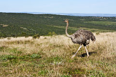Ostrich on the Move Stock Images