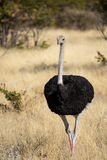 Ostrich in Namibia Royalty Free Stock Photo
