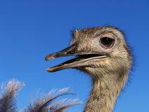 Ostrich Nandou. (Rhea Americana), Argentina royalty free stock photography