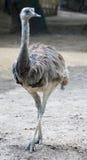 Ostrich Nandu 4 Royalty Free Stock Photo