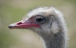 Ostrich nandu`s head 1 Royalty Free Stock Photography