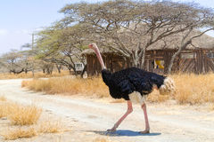 Ostrich in National Park in Ethiopia. Wild Ostrich walking in Aidjatt Shalla National Park in Ethiopia Royalty Free Stock Photo