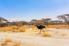 Ostrich in National Park in Ethiopia. Stock Image