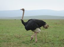 Ostrich in natural ambiance stock photos