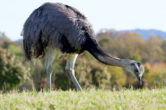 Ostrich at the nature reserve royalty free stock image