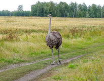 Ostrich at the nature royalty free stock photography
