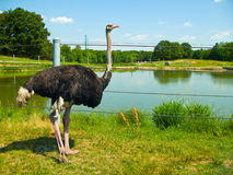 Ostrich near pond. An ostrich stands tall in front of a pond and fencing Royalty Free Stock Image