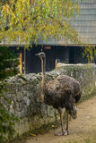 Ostrich near stone fence Royalty Free Stock Photo