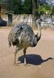 Ostrich neck beak plumage eyelashes Royalty Free Stock Photo