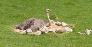 Ostrich In Nest Royalty Free Stock Photography