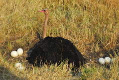 Ostrich in the nest Royalty Free Stock Photos