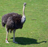 The Ostrich. Is one or two species of large flightless birds native to Africa, the only living member(s) of the genus Struthio Stock Photo