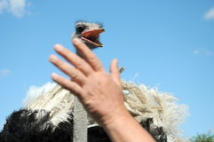 Ostrich. With open beak attack man on blue sky with white clouds as back ground Stock Image