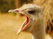 Ostrich with open beak Stock Photo