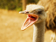 Ostrich with open beak Stock Photos