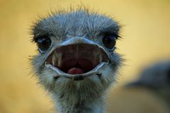 Ostrich with open beak. Ostrich Struthio camelus head and neck looking forwards and beak open with a blurred background Royalty Free Stock Images