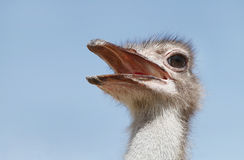 An Ostrich with open bill Royalty Free Stock Photo
