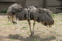 Ostrich with open wings in the zoo. Ostrich with open wings walking in the zoo Royalty Free Stock Photos