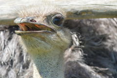 Ostrich with an opened mouth. Ostrich with his mouth opened Royalty Free Stock Image