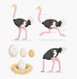 Ostrich and ostrich eggs on the nests. Vector illustration. Royalty Free Stock Images
