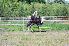 Ostrich. Es fighting in the farm behind the fence Royalty Free Stock Images