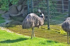 Ostrich in Berlin Zoo Royalty Free Stock Images