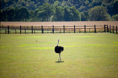 Ostrich out on the Farm Stock Image