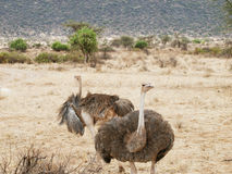 Ostrich Pair Stock Image