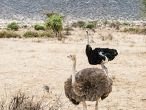 Ostrich Pair Royalty Free Stock Photography