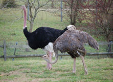 Ostrich pair taking a stroll Stock Photos