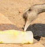 Ostrich pecking a block of ice. Head shot of an ostrich pecking a block of ice on a hot summers day stock photos