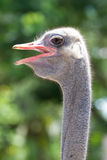 Ostrich. The picture of zooming into the head of ostrich Royalty Free Stock Photography
