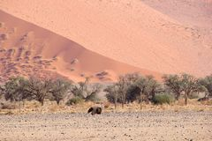 Ostrich pink sand dunes, Sossuvlei, Namibia Royalty Free Stock Photography