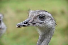 Ostrich Portrait Lizenzfreie Stockfotografie