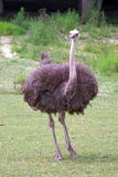 Ostrich portrait Stock Photo
